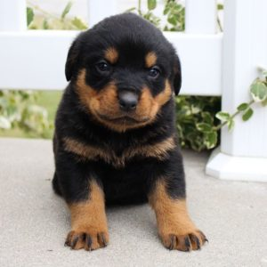 cheap rottweiler puppies for sale