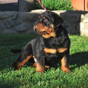Rottweiler Puppies For Sale Near Me