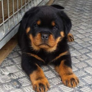 Buy Rottweiler Puppies Online