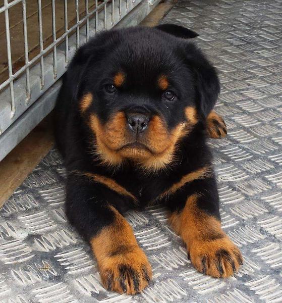 Buy Rottweiler Puppies Online