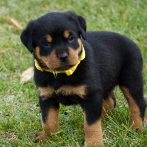 Giant Rottweiler Puppies for Sale